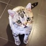 Luhu-the-saddest-tabby-cat