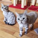 Luhu-the-saddest-tabby-cat (4)