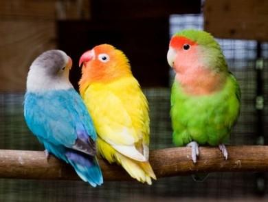 papagaili