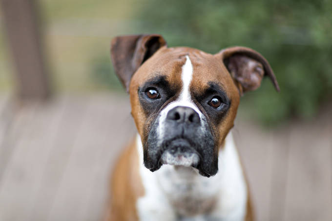 Boxer dog looking forward with a blurred background.