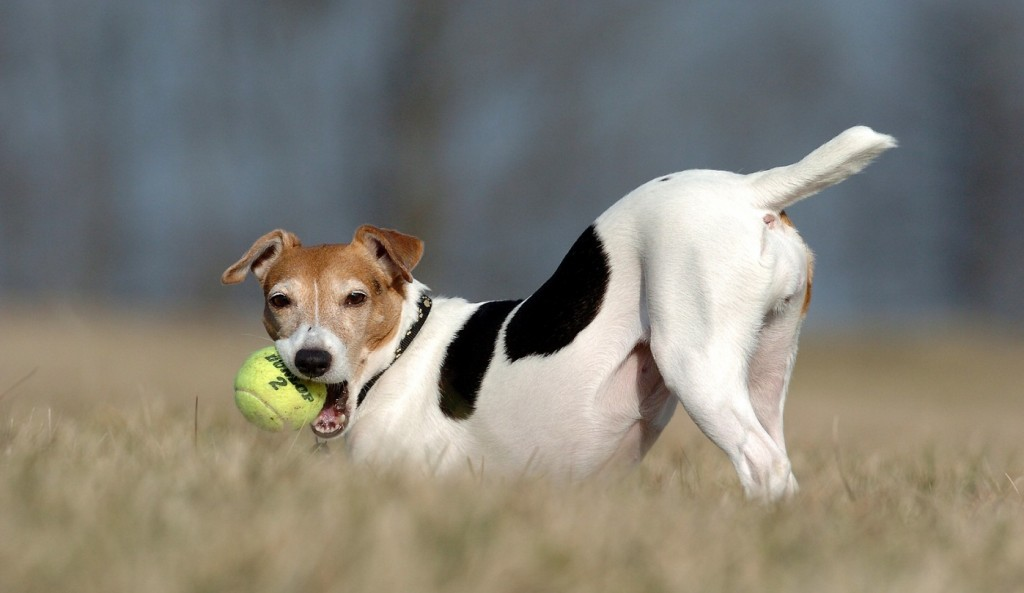 jack-russell-terrier-photo