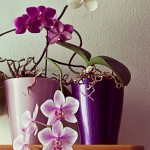 beautiful orchid plants with purple, white and pink flowers. Instagram-like retro effect added.