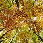 epaselect epa05002094 A camera on the forest floor points up into the autumn foliage in a forest near Springe,Germany, 29 October 2015.  EPA/JULIANSTRATENSCHULTE