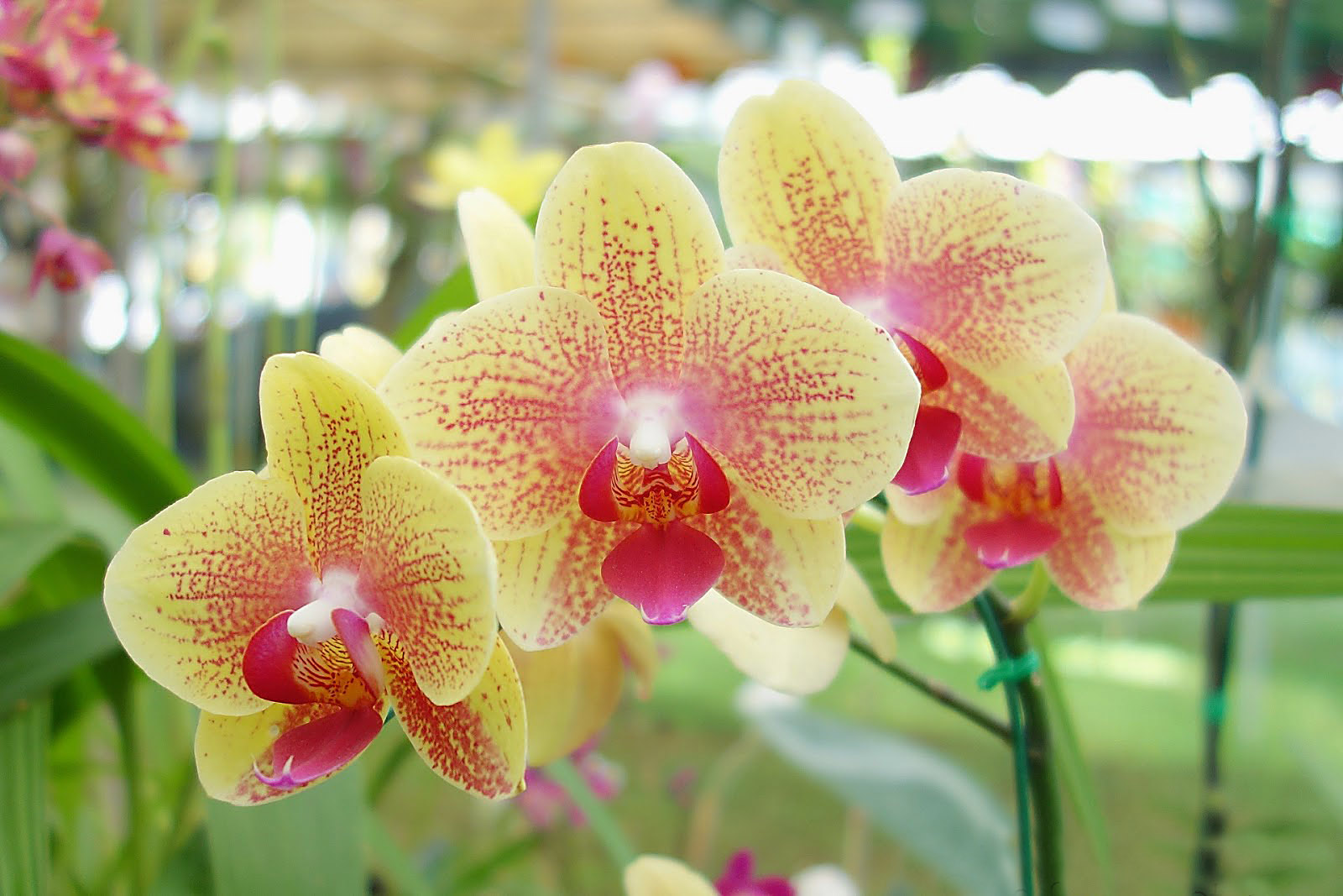 phalaenopsis-moth-orchid-flowers-picture-1