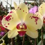 phalaenopsis-orchid-6