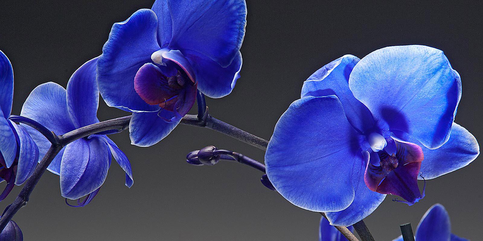 saphhire-orchid2-bbp3649