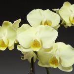 citron_orchid