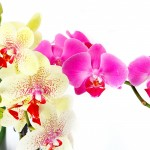 orchid-phalaenopsis-bright-1401