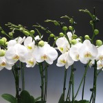 orchids_white-phalaenopsis-orchids-015