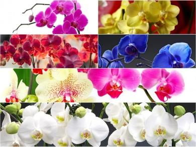 orhidejas1