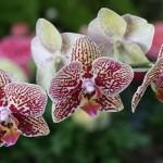 phalaenopsis2bmei2bdar2bblackberry2b3-10-11