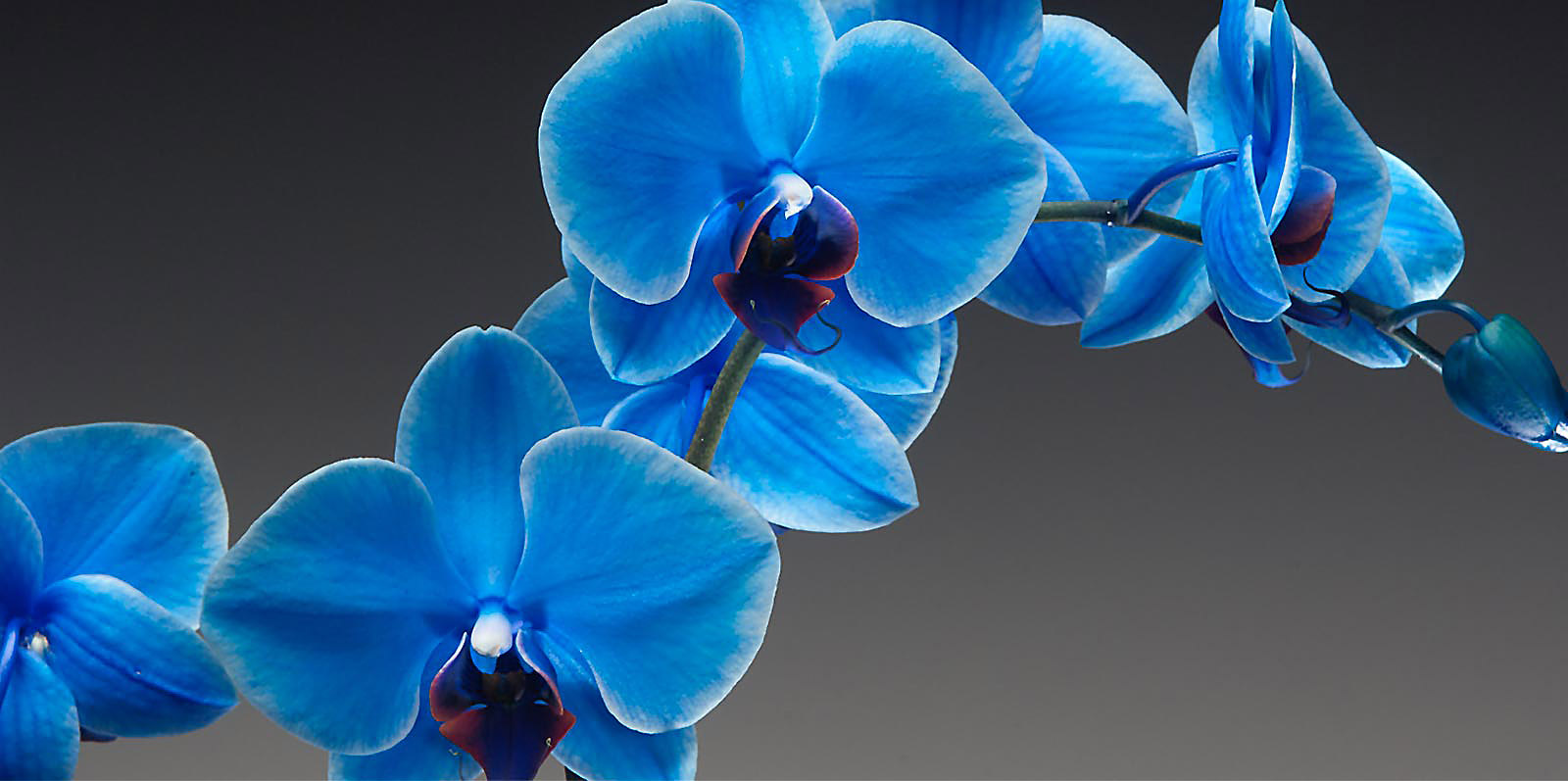 sapphire_orchid