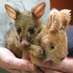 this-orphaned-brushtail-possum-and-his-stuffed-kangaroo-pal-photo-u1