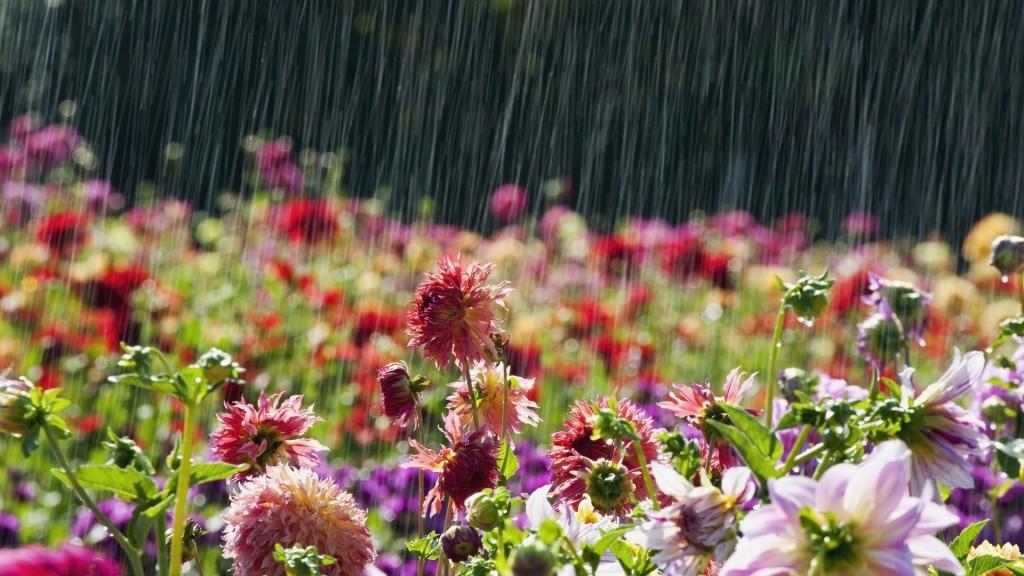 lietus_ziedi