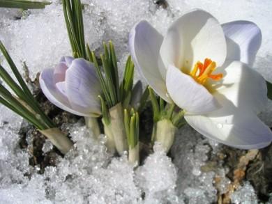sniegs_ziedi