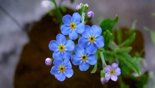 myosotis_palustris_water_forget-me-not_marginal_Merebrook_pondplants-1