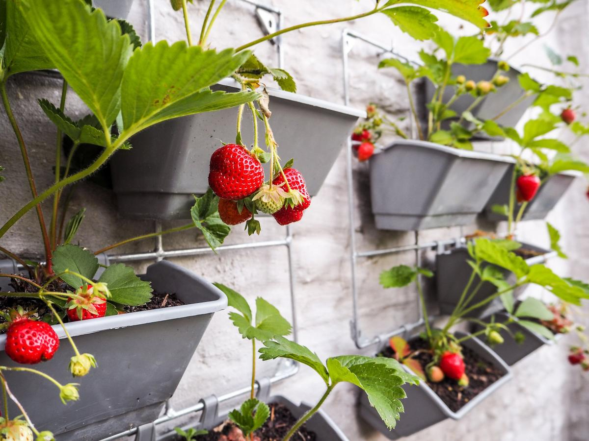 An ever-bearing variety of strawberry will provide a longer harvest season. Be sure to add plenty of compost.