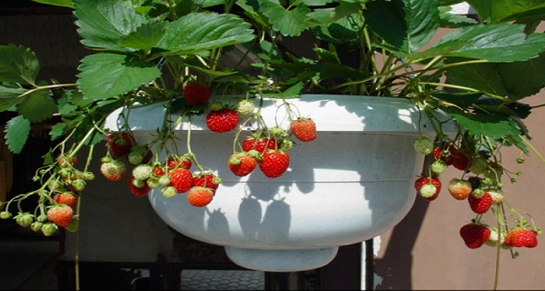 This-Year-Grow-Your-Own-Strawberries-On-Your-BalconyFollow-These-Steps-And-You-Will-Definitely-Succeed