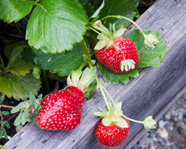three-strawberries-hanging-on-edge-of-bed_DSC26811